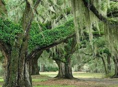 Live oak, resurrection fern, and spanish moss Tillandsia Usneoides, Resurrection Fern, Mousse, Old Oak Tree, Old Trees, Live Oak Trees, St Simons Island, Cross Stitch Tree