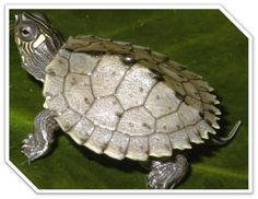 Pictures of Mississippi fact | What Do Mississippi Map Turtles Eat? | What Do Turtles Eat Info.com