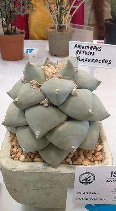 Ariocarpus retusus (v. furfuraceus). Native to Mexico. (Cactus)