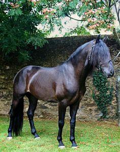 Puro Sangue Lusitano stallion Eolo.