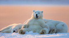 Afbeeldingsresultaat voor ijsbeer