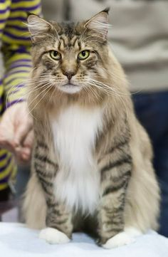 Maine Coon- Love the striped legs. http://www.mainecoonguide.com/fun-facts-maine-coon-cats/