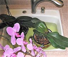 Akár 20 virág egyszerre egy orchideán! Van egy speciális fürdő recepet! - Segithetek.blog.hu