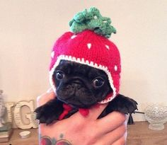 The cutest lil strawberry ever (bubblebeccapugs)