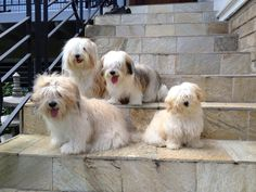 How awesome to have your stairs full of Havanese puppies to welcome you home!