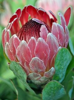 Protea Cardinal - Protea - Proteas and Leucadendrons - Flowers by category Protea Art, Protea Flower, Australian Native Flowers, Australian Plants, Exotic Flowers, Amazing Flowers, Champagne Wedding Flowers, South African Flowers, Garden Shrubs