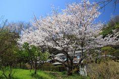 Cherry blossoms in Hiroshima JAPAN by 片柳弘史さん