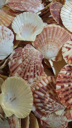 OVERSTOCK SALE Pecten Scallop Shells/ Lentigious Pecten for Coastal Decorating/ Arts/ Crafts Loose Seashell Supplies yellow pink peach coral Tropical Decor, Coastal Decor, Coastal Style, Sky Sunset, Diy Wind Chimes, Scallop Shells, Seashell Art, Scallops, Be Natural