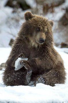 Įspūdingos fotografijos: meškos jauniklis žaidžia su pirmą kartą matomu ledo luitu - Grynas.lt