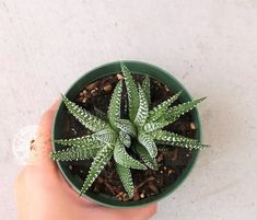 Haworthia Zebra Plant is a striking succulent. Its leaves are thin, and dark green with horizontal white ridges that resemble zebra striping. Growing Flowers, Planting Flowers, Zebra Plant, Root System, Potting Soil, Echeveria, Clay Pots, Zebras, Plant Care