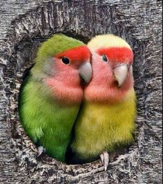 Beautiful pair of Love Birds Kinds Of Birds, All Birds, Cute Birds, Pretty Birds, Little Birds, Beautiful Birds, Animals Beautiful, Exotic Birds, Colorful Birds