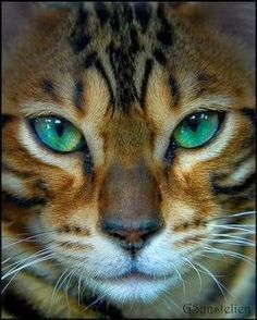5 Interesting facts about Bengal Cats, Click the pic to read http://www.cleaverkittycats.com/