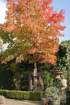 Onze Amberboom op z'n mooist
