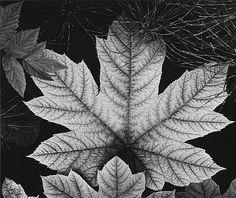 ADAMS, ANSEL (1902-1984) 'Leaf, Alaska.' 1947