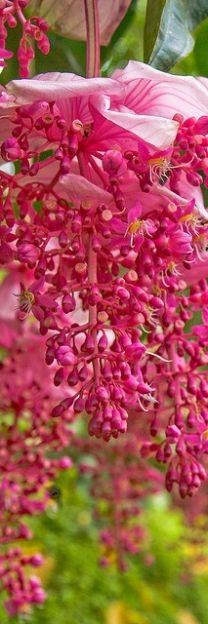 Magnificient hot pink blossoms!!! Bebe'!!! It is raining pink blossoms!!!