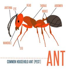 Ants can be frustrating for homeowners. Learn how to get rid of them here:
