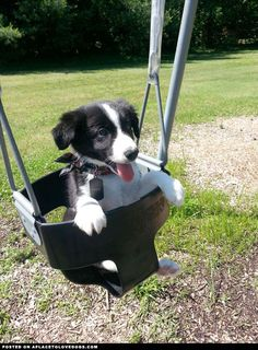Border Collie Puppy , just hanging out on a swing. I wish I could've seen Maddie as a puppy like this!! :(