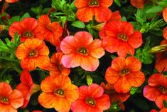 9d60ab2e56eb Calibrachoa Callie Orange Sunrise from Syngenta - Year of the Calibrachoa -  National Garden Bureau Flower