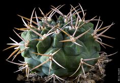 Gymnocalycium pugionacanthum - Gymnocalycium Galerie