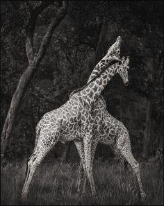 Giraffes Battling in Forest, Masai Mara, 2008 Nick Brandt
