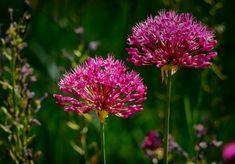Hagyma – egy rendkívül egészséges, szinte gyógynövény, melynek számos jótékony hatása ismert és a hagyományos főzés egyik fő alapanyaga. Big Flowers, Summer Flowers, Purple Flowers, Growing Flowers, Pink Purple, Leafy Plants, Green Plants, Flowers Perennials, Planting Flowers