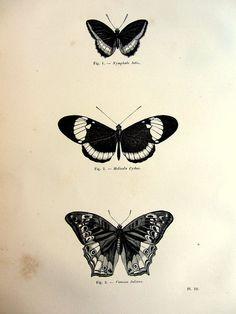 1860 Vintage rare papillon papilion originale par LyraNebulaPrints