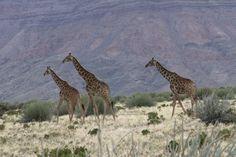 Giraffes in the Namib Desert. By G. J Cameron