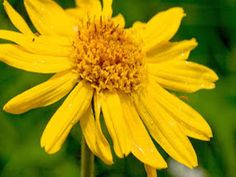 Arnica, Arnica montana L., Asteraceae (Daisy Family) - Organic and Natural Skin Care Arnica Montana, Simple Minds, Infused Oils, Coconut Oil For Skin, Healthy Skin Care, Oils For Skin, Medicinal Plants, Tea Tree Oil, Natural Skin Care