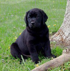 141 Best Cute Black Labs Images On Pinterest Black Labrador Dog