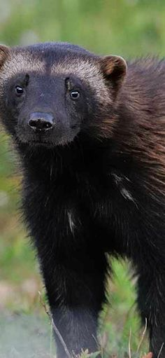Wolverine in Western Montana and Glacier National Park | glaciermt.com