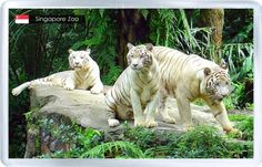 Would love to go to Singapore zoo to see the white tigers Pretty Cats, Beautiful Cats, Animals Beautiful, Beautiful Places, Endau Rompin National Park, Zoo Animals, Cute Animals, Nocturnal Animals, Animal Fun