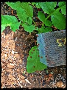 Get Rid of  Aphids - That Natural Way