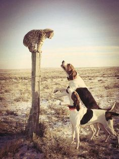 Hunting dogs.  Aww but poor little guy!!!                                                                                                                                                                                 More
