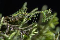 moss mantis, Pogonogaster tristani (4)