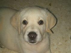 Zelda Cuadrado #LabradorRetriever #veterinario www.veterinario.es