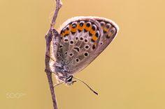 Orange & Blue - Silver-studded Blue (Plebejus argus) preparing for a chilly night's sleep