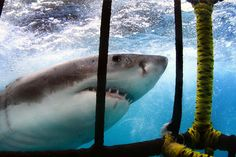 Shark Cage Diving - an emotionally explosive experience second to none! (photo by Dirk Schmidt) Shark Diving, Travel Tours, Shark Cage, Cape Town, Underwater, Schmidt, Safety, Forget, Bucket