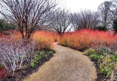 The British Gardener: Damn good plants - Red twig dogwoods Part 3