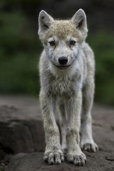 Arctic Wolf. Photo by Daniel Parent.