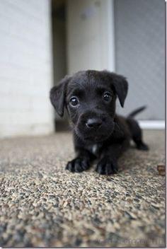 Pupperly cute | black lab | too cute | puppy love | cute animals