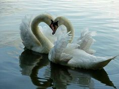 The swans are the most faithful love to the last breath