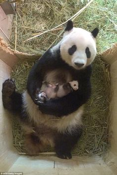 VERY proud mummy panda enjoys a cuddle with her babies - - The heart-warming pictures of the panda mother and her cubs from Schönbrunn Zoo in Vienna has ended a month of speculation as it was confirmed for the first time they were a boy and a girl. Panda Bebe, Cute Panda, Panda Panda, Cute Baby Animals, Animals And Pets, Funny Animals, Mother And Baby Animals, Wild Animals, Beautiful Creatures