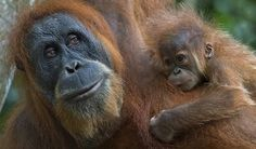 The survival of the orangutan rests on forest conservation and sustainable production, which makes the Rainforest Alliance's work in palm oil certification and carbon sequestration in Indonesia vitally important. Rainforest Ecosystem, Rainforest Facts, Save The Orangutans, Sumatran Orangutan, Chimpanzee, Animal Species, Endangered Species, Plant Species, Animals