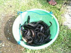 Eel Cultivating in my farm