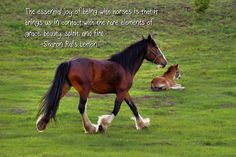 Beautiful Clydesdale horses