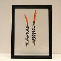 2 red tip veren van een lady armherstfazant ingelijst in een zwart, houten lijst van 30 x 40 cm