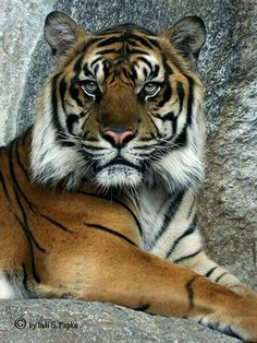 My love for tigers...