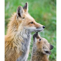 A young fox cub gazes up at her mother after she'd returned home from a hunt. The scene was snapped by photographer Max Waugh in Jackson, Wyoming.