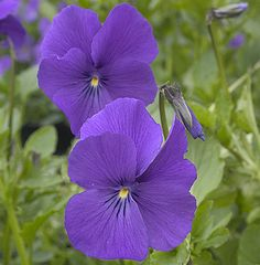 Viola 'Inverurie Beauty' An exceptionally hardy and perennial Viola of Scottish origin, with large, deep violet-purple flowers. Makes excellent ground cover, clumps to 50cm across.