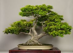 Stunning, really stunning Acer Bonsai.    By: Michael Bonsai  See: www.bonsaiempire.com #bonsai